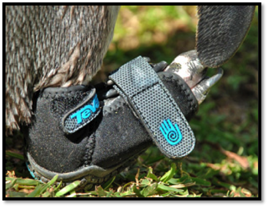 Lucky The Penguin Gets A Teva Shoe